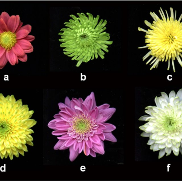 Characterization of chrysanthemum flowers. a, 'Bodeka' (red color and... |  Download Scientific Diagram