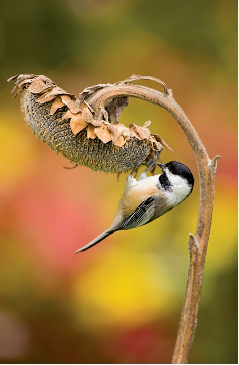 Food vs. Safety: Risk Management for Chickadees | All About Birds All About Birds