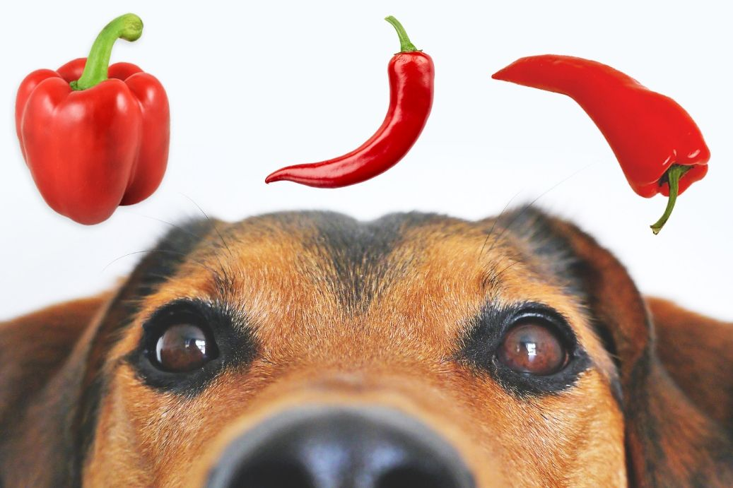 Can Dogs Eat Peppers? Can Cats Eat Peppers? | PepperGeek
