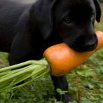 Can Dogs Eat Carrots? Are Carrots Safe For Dogs? - DogTime