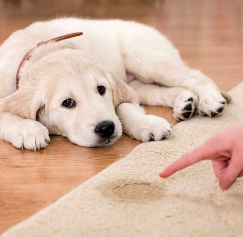 Potty Training a Puppy: How to House Train Puppies
