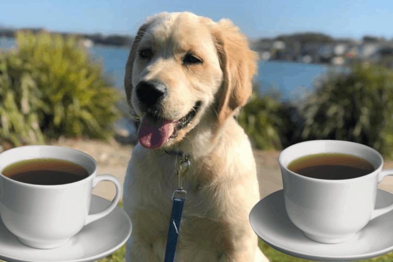 Can Dogs Drink Tea? - Golden Retriever Love