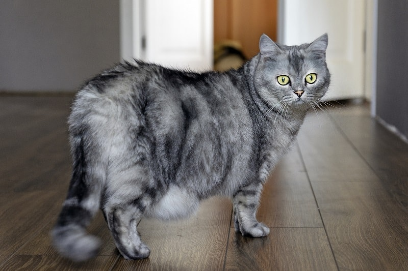 how soon can i tell if my cat is pregnant online -