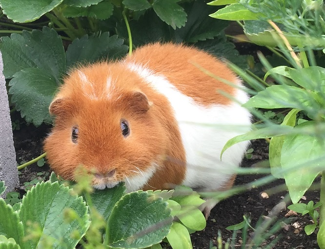 Tips and Tricks to Tame Your Guinea Pig – REDFOX