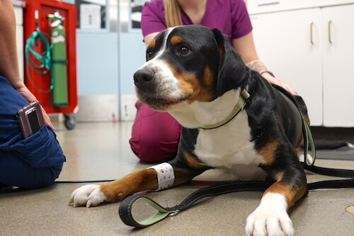 When to See an Emergency Vet for Your Dog's Limping - Emergency Veterinary Hospital