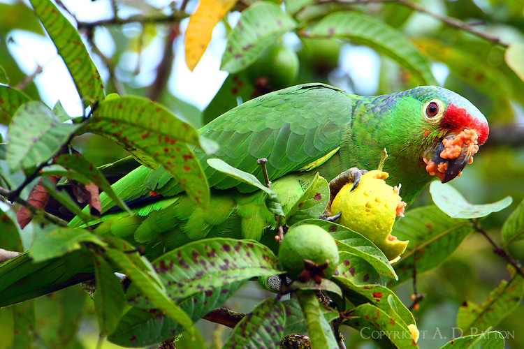 Red-lored parrot eating guava | Alton Patton