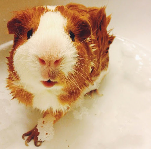Guinea Pig Bath Time | Cute Animals