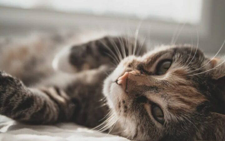 How Long Does Motion Sickness Last In Cats