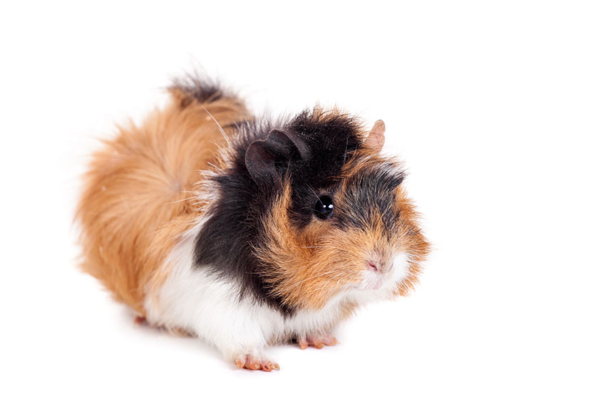 How To Train A Guinea Pig Not To Bite   Training Your Guinea Pigs