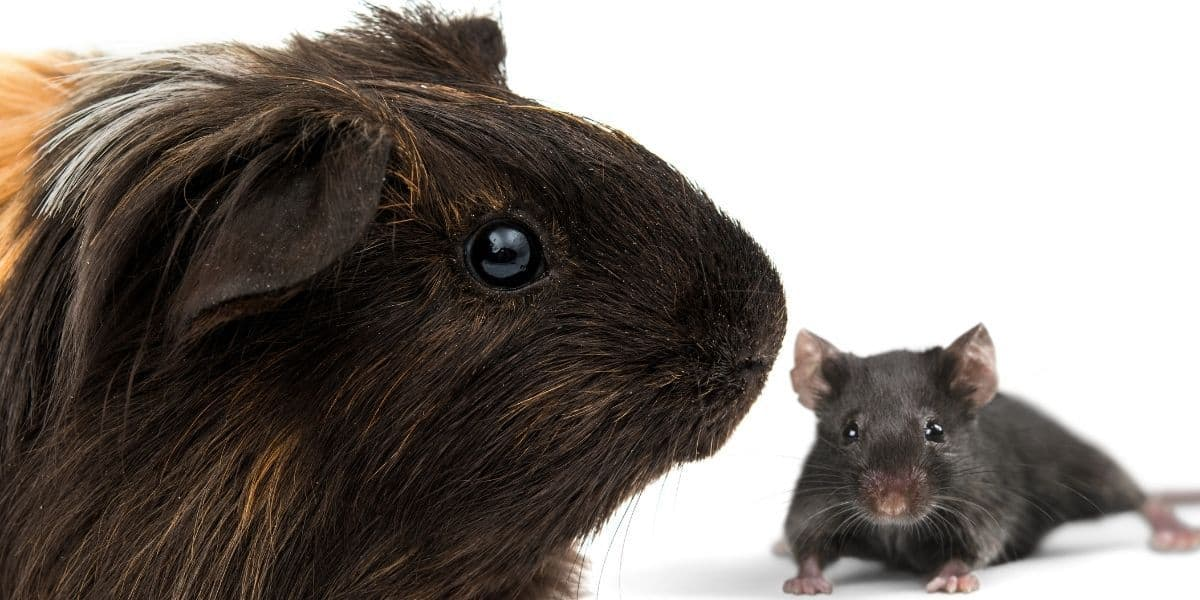 Do Guinea Pigs Attract Mice? ( Why you're getting mice ) | Hutch and Cage