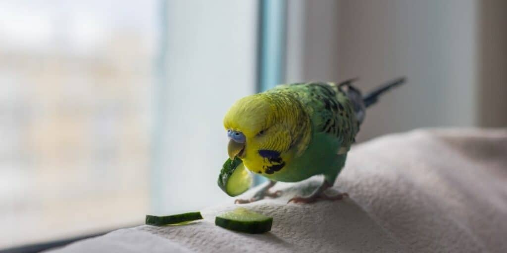 Can parrots eat cucumber?   Hutch and Cage