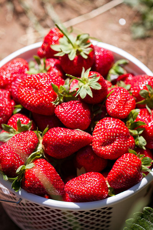 75 U-Pick Farms for Strawberry Picking in Virginia