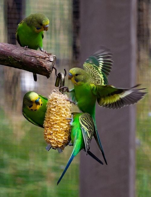 What do parakeets eat? Full parakeet diet guide - Psittacology