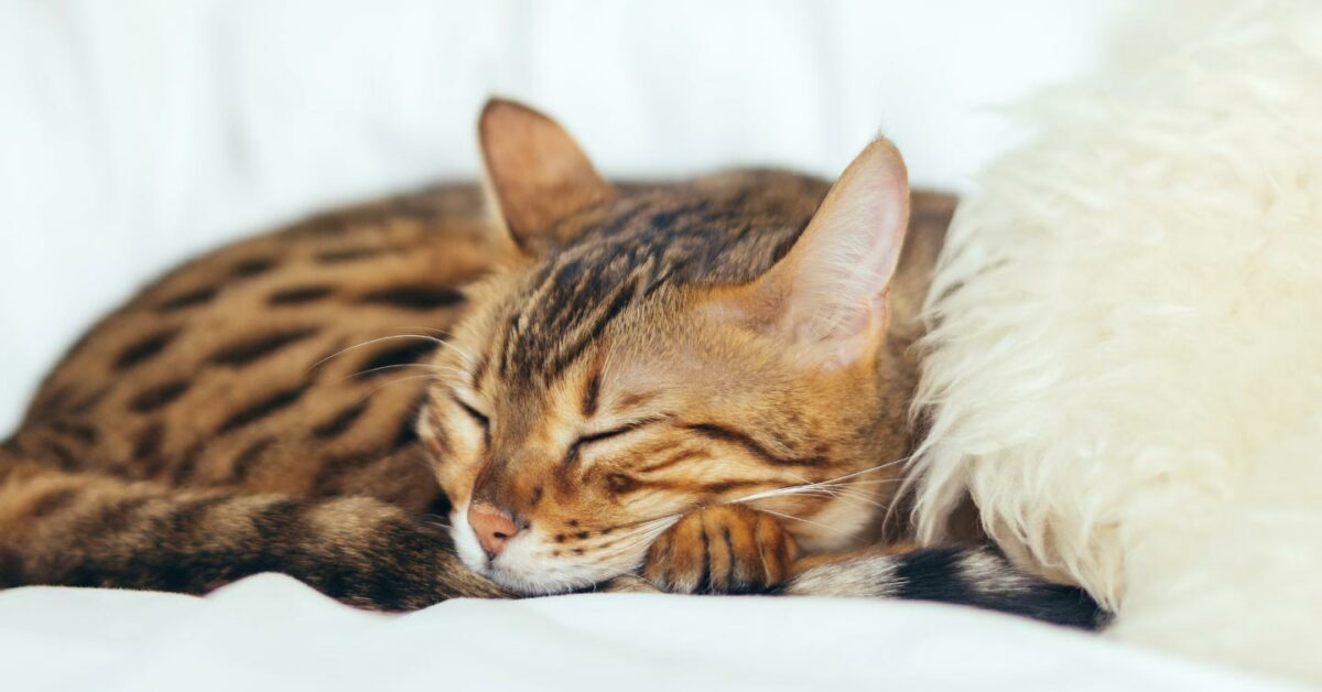 Why Do Cats Sleep So Much? [Updated August 2020]   Pumpkin Pet Care