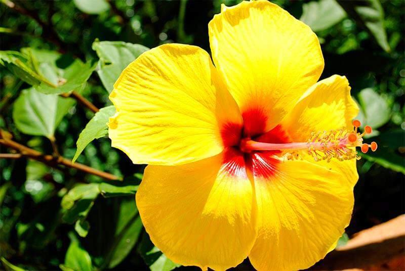 How to Grow Vibrant Hibiscus