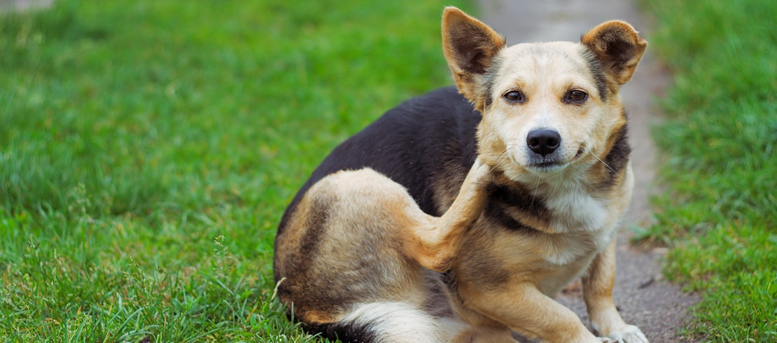How to Help Get Rid of Fleas on Dogs