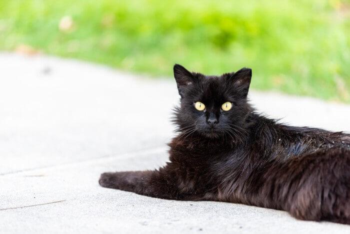 10 Effective Cat Dandruff Remedies - Tuxedo Cat