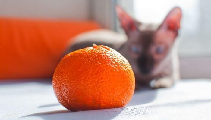 Can Cats Eat Oranges? Is It Safe? - Tuxedo Cat