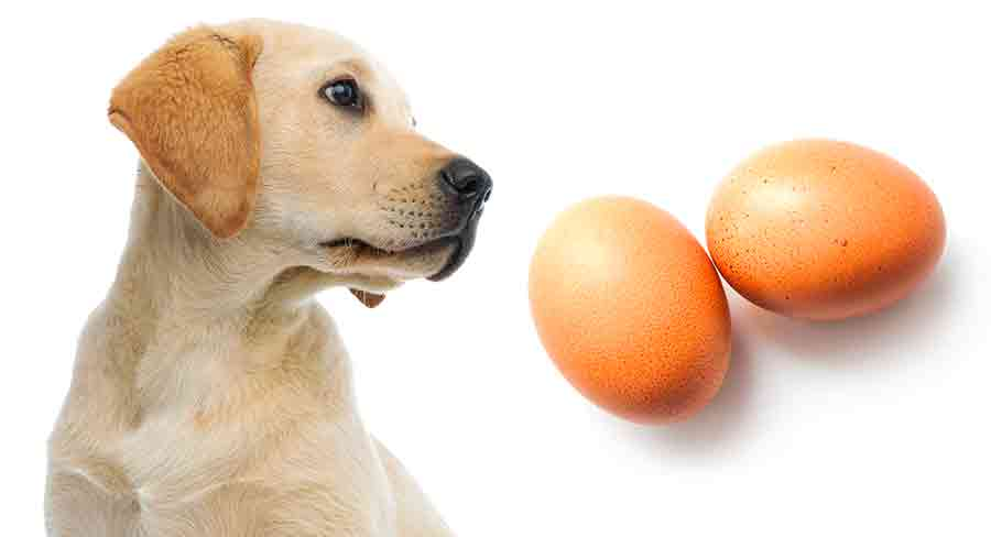 Can Dogs Eat Eggs? How To Safely Feed Cooked And Raw Eggs To Dogs