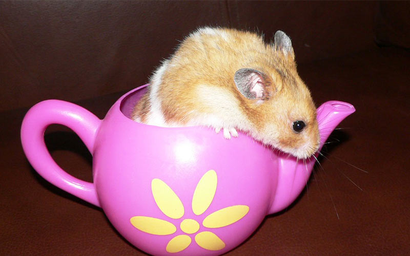 Can Hamsters Drink Milk - A Pet Food And Drink Safety Guide