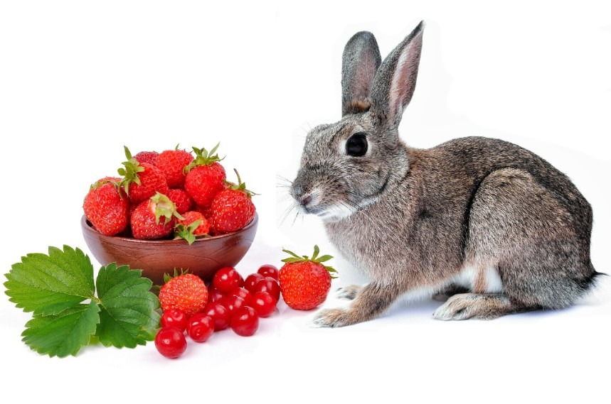 Can Rabbits Eat Strawberries? - YES, But How Many is the Right Question
