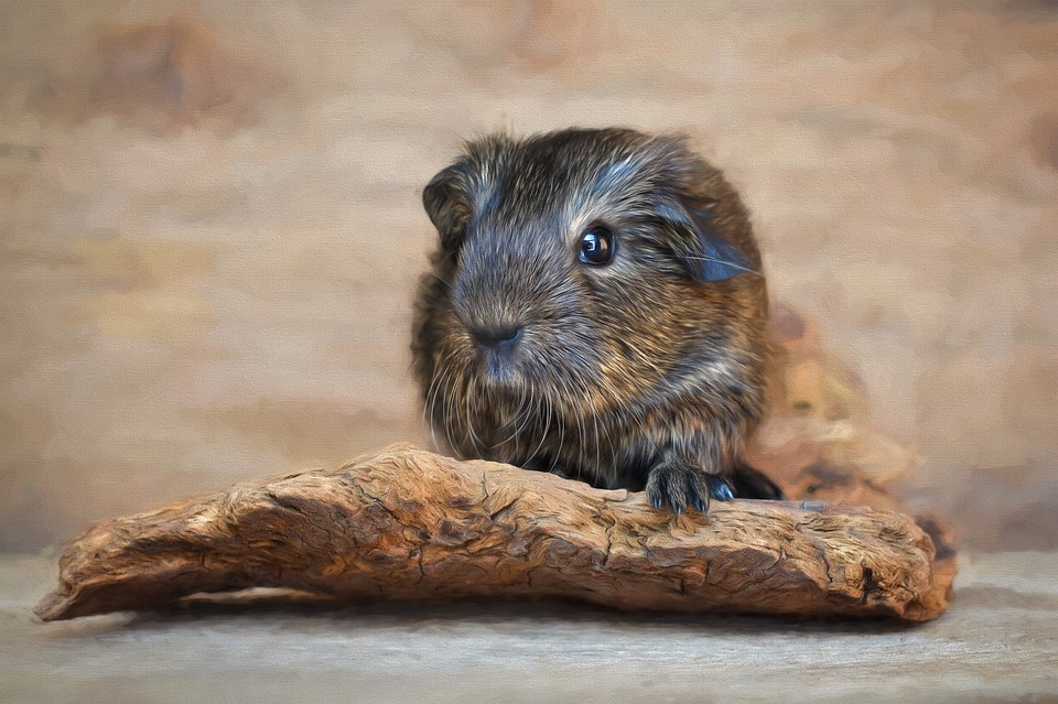 Can You Potty Train A Guinea Pig? (10-Step Definitive Guide)