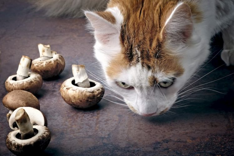 Can cats eat baby bella mushrooms? - PollyPets.com