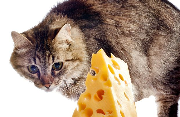Can Cats Eat Cheese?   BeChewy