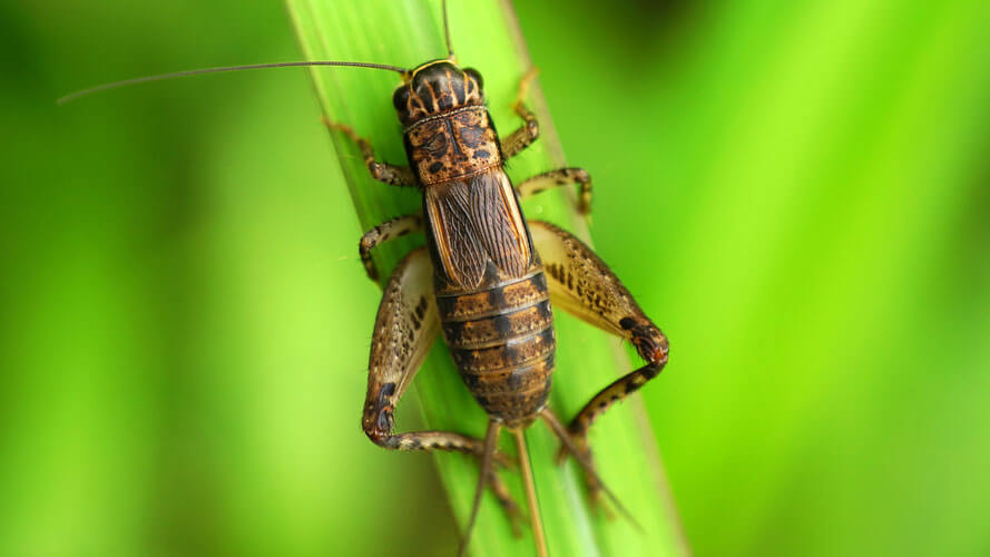 Fun Resource Guide on Crickets   CandyWarehouse Blog