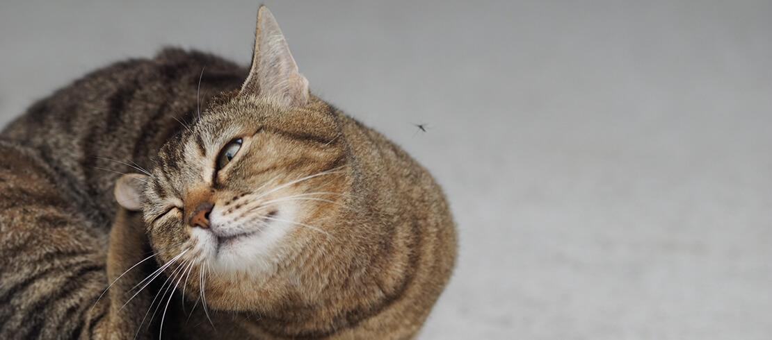 Everything You Need to Know About Cats & Fleas