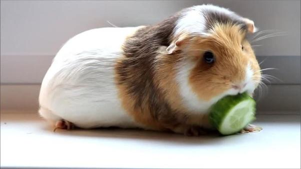 Can Guinea Pigs Eat Cucumber? Is It Safe? (Quick Guide)