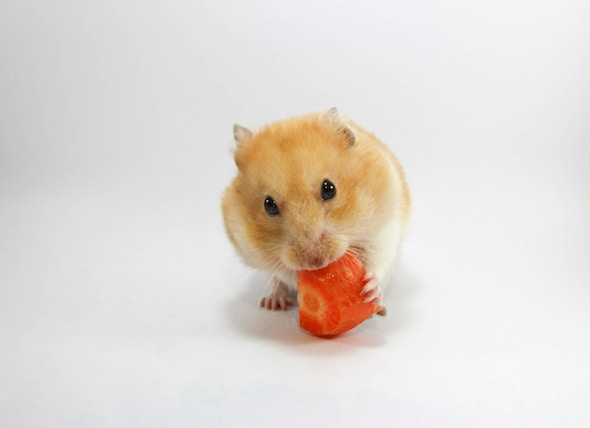 What Can Hamsters Eat? Carrots, Grapes, Tomatoes, and More | PetMD
