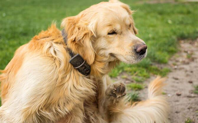 How Do I Know If My Dog Has Fleas? | Adams™