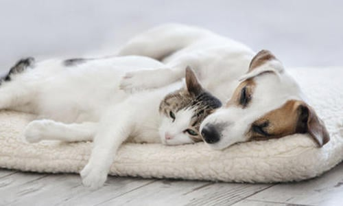 How to Introduce Cats and Dogs | Purina