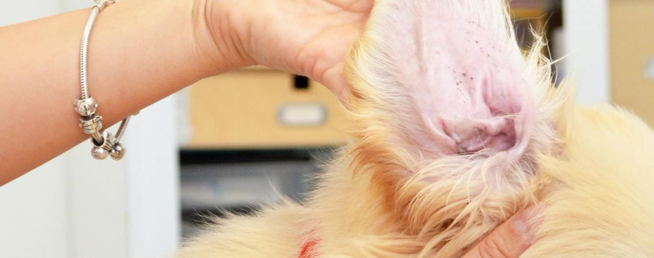 How to Prevent Your Dog from Getting Ear Mites | Wag!