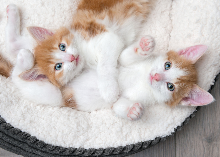 How do I know if my cat is pregnant?