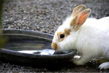 Why Is My Rabbit Drinking a Lot of Water? — Rabbit Care Tips