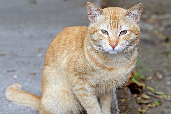 Notoedric Mange in Cats - Symptoms, Causes, Diagnosis, Treatment, Recovery, Management, Cost