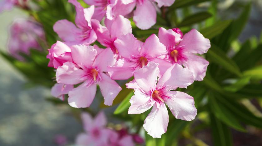 Oleander and COVID-19: Get the Facts | South Shore Health