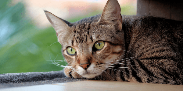 My Cat Can't Pee! Feline Urethral Obstruction: Be Prepared
