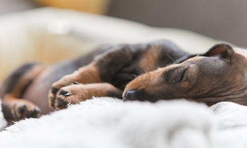 Where Should My Puppy Sleep?   Purina® Canada