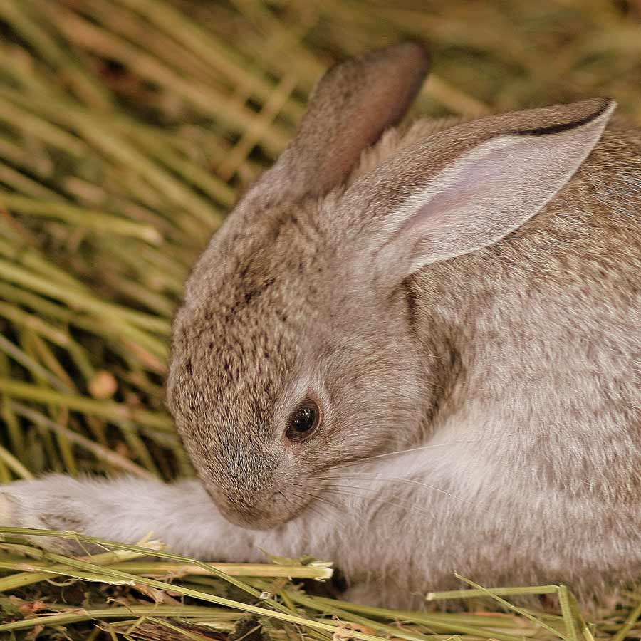 Tips For Grooming Your Rabbit - Lafeber Co. - Small Mammals