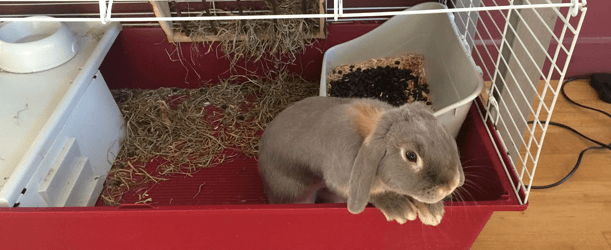 Rabbit Toilet Training | Pet Circle
