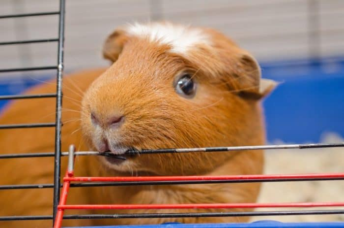 13 Ways to Get Your Guinea Pig to Stop Biting You