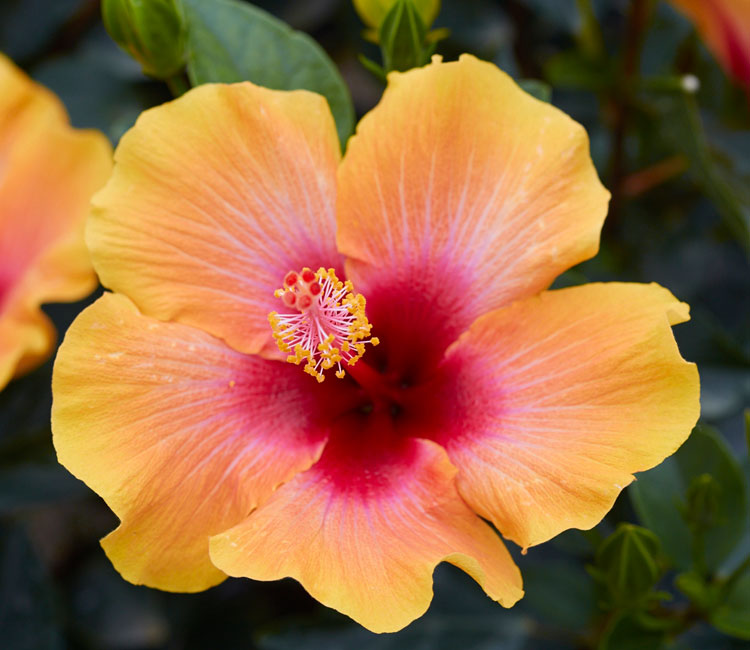 An Award Winning Tropical Hibiscus Collection | Hollywood Hibiscus
