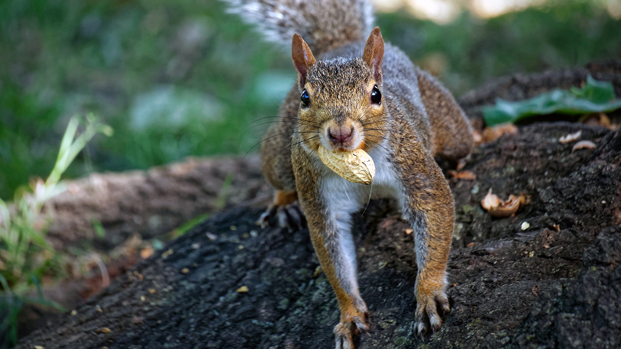 Squirrels Actually Organize Their Nut Hoard — Here's Why   HowStuffWorks