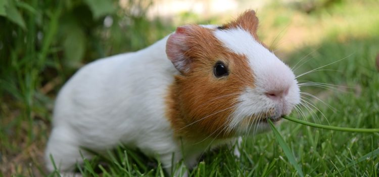 Why Is My Guinea Pig Not Eating? | 10 Causes of Appetite Loss