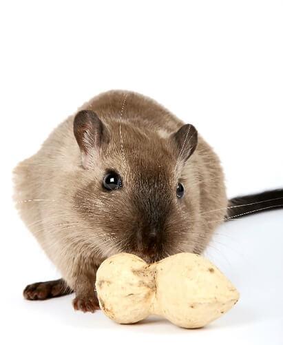 What Do Gerbils Eat? - PBS Pet Travel