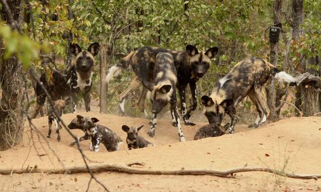 Hot dogs: Is climate change impacting populations of African wild dogs? | Zoological Society of London (ZSL)