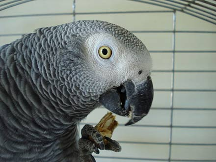 Foods Toxic To Pet Birds – Pet Birds by Lafeber Co.